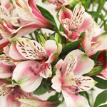Bulk Alstromeria Mayfair flower