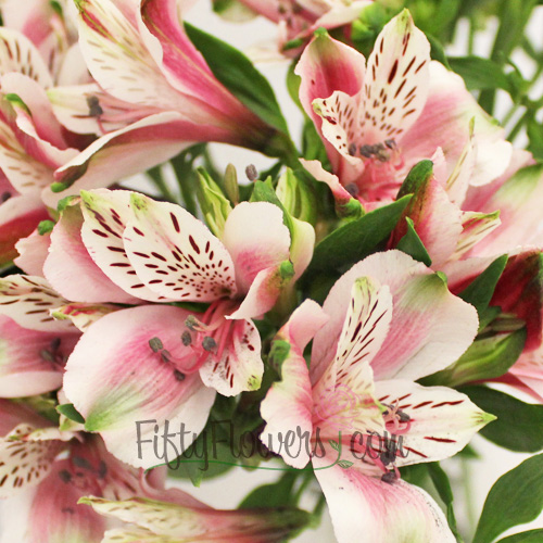 Bicolor White and Pink Peruvian Lilies