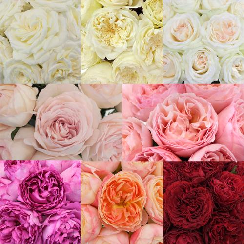 Classic Garden Rose Sample Pack