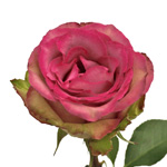 Fresh Cut Roses White and Pink Classic Cezanne
