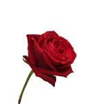 Red Rose Classy