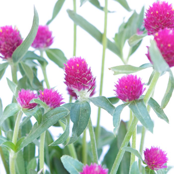 Clover Hot Pink Bulk Flower