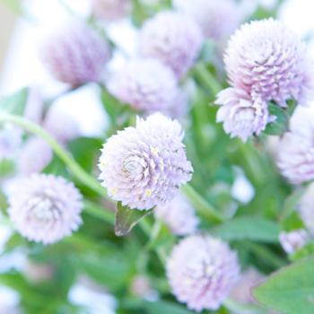 Wispy Lavender Gomphrena Fresh Flowers