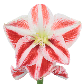 Peppermint Stripes Amaryllis Flower
