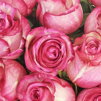 Pink Spotlight Rose