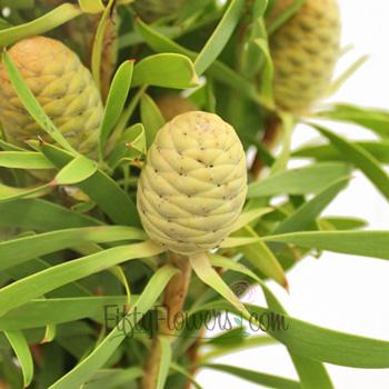 Winter Sunshine Cone Leucadendron