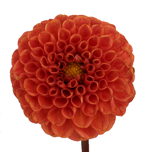 Copper Penny Dahlia Flower