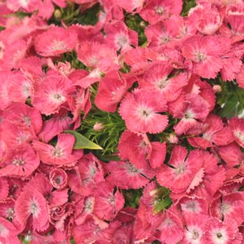 Coral Dianthus Flower