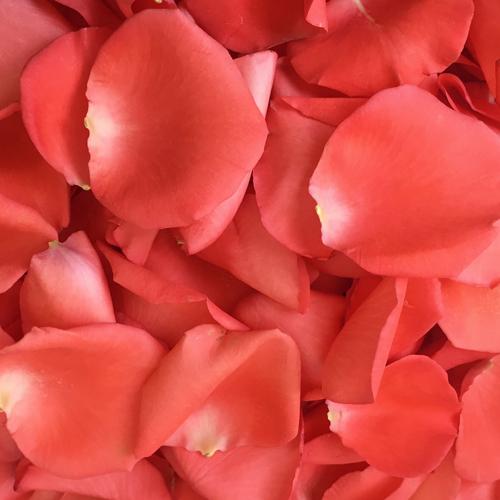 Coral Rose Petals