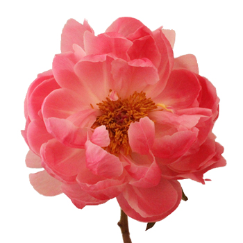 Coral Charm Peony for April