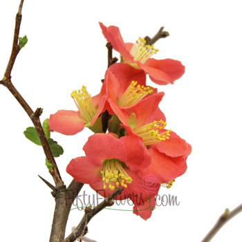 Blooming Coral Quince Branches