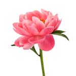 Salmon_Peony_Flower