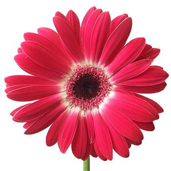 Corazon Love Gerbera Daisy