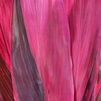 Cordyline Red Leaves