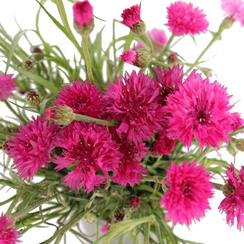 Shocking Pink Cornflowers