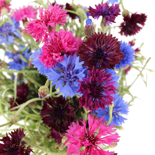 Assorted Color Cornflowers