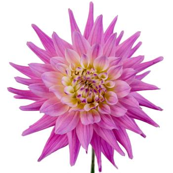 Pink Spider Dahlia Flower
