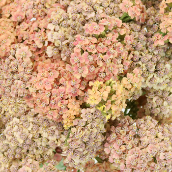 Peachy Pink Cottage Yarrow Flowers