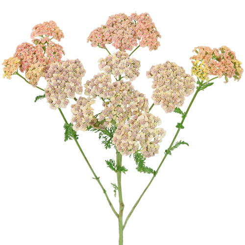 Peachy Pink  Yarrow