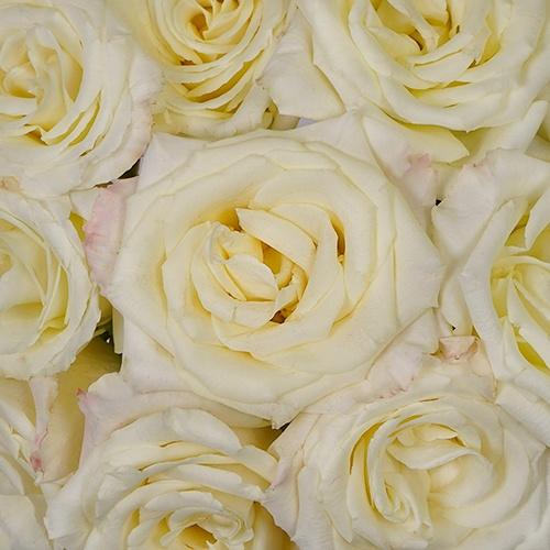Amsterdam Ever Cream Rose