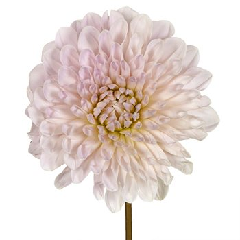 Destiny Cream Dahlia Flower