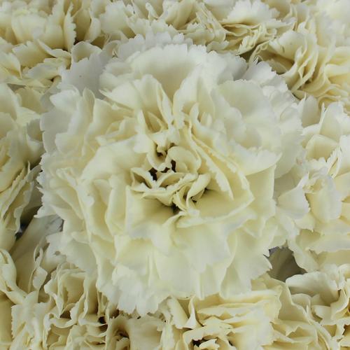 Cream Carnation Flowers