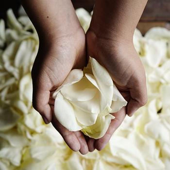 Cream Rose Petals Wholesale