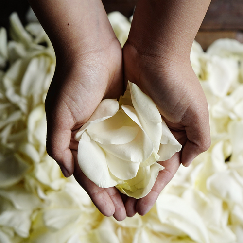 Creamy White Rose Petals
