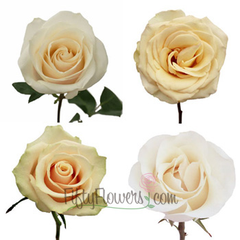 Cream Fresh Roses