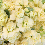 Yellow Stock Wholesale Flower Upclose