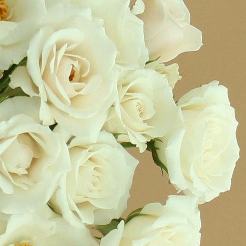 White Majolica Spray Roses Wholesale