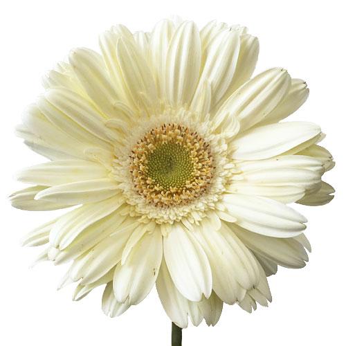 Creamy White Gerbera Daisy
