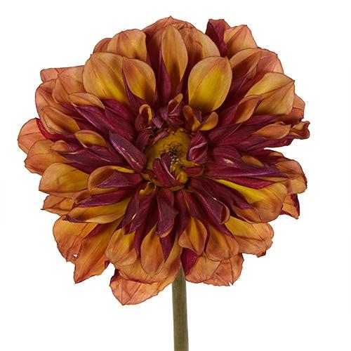 Cognac Dahlia Flower
