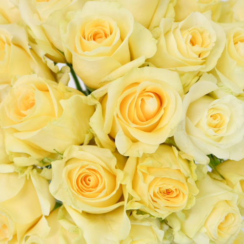 Lemon Sherbet Sweetheart Roses