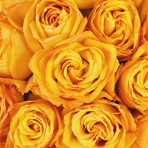 Golden Rod Yellow Rose