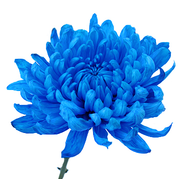 Blue Cremon Bulk Flowers
