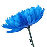 Tinted Blue Zembla Cremon Flower