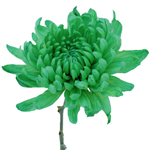 Tinted Green Zembla Cremon Flower