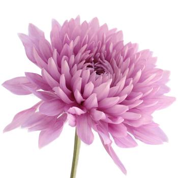 Dahlia Style Cremon Pink Lavender