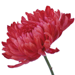 Tinted Red Zembla Cremon Flower