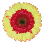 Cream and Red Gerber Daisy Flower