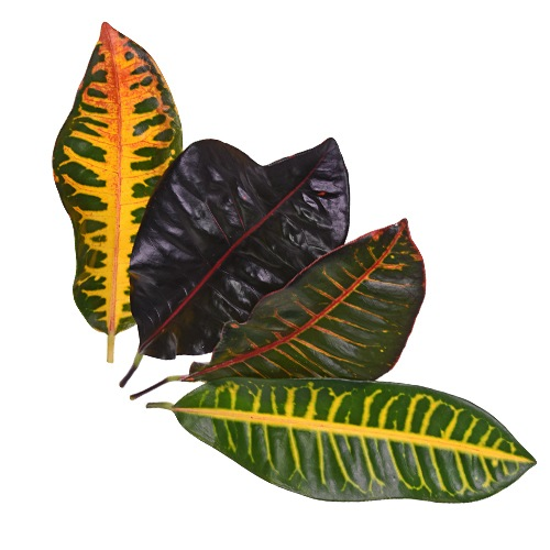 Assorted Croton Leaves