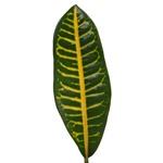 Croto Verde - Buy Bulk FREE SHIPPING!