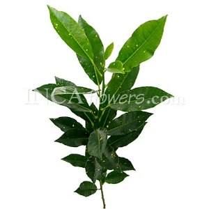 Croton Verde Greenery