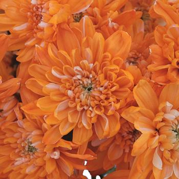 Orange Cushion Bulk Enhanced Flower