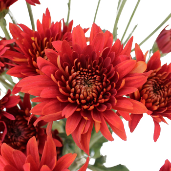 Brick Red Cushion Flower