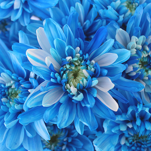 Electric Blue Enhanced Flowers