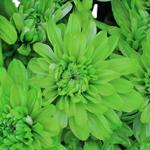 White Polaris Cushion Farm Mix Tinted Flower