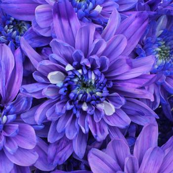 Indigo Violet Enhanced Flower