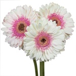 Gerbera Daisy Shimmer White and Pink Wholesale Flower Bunch